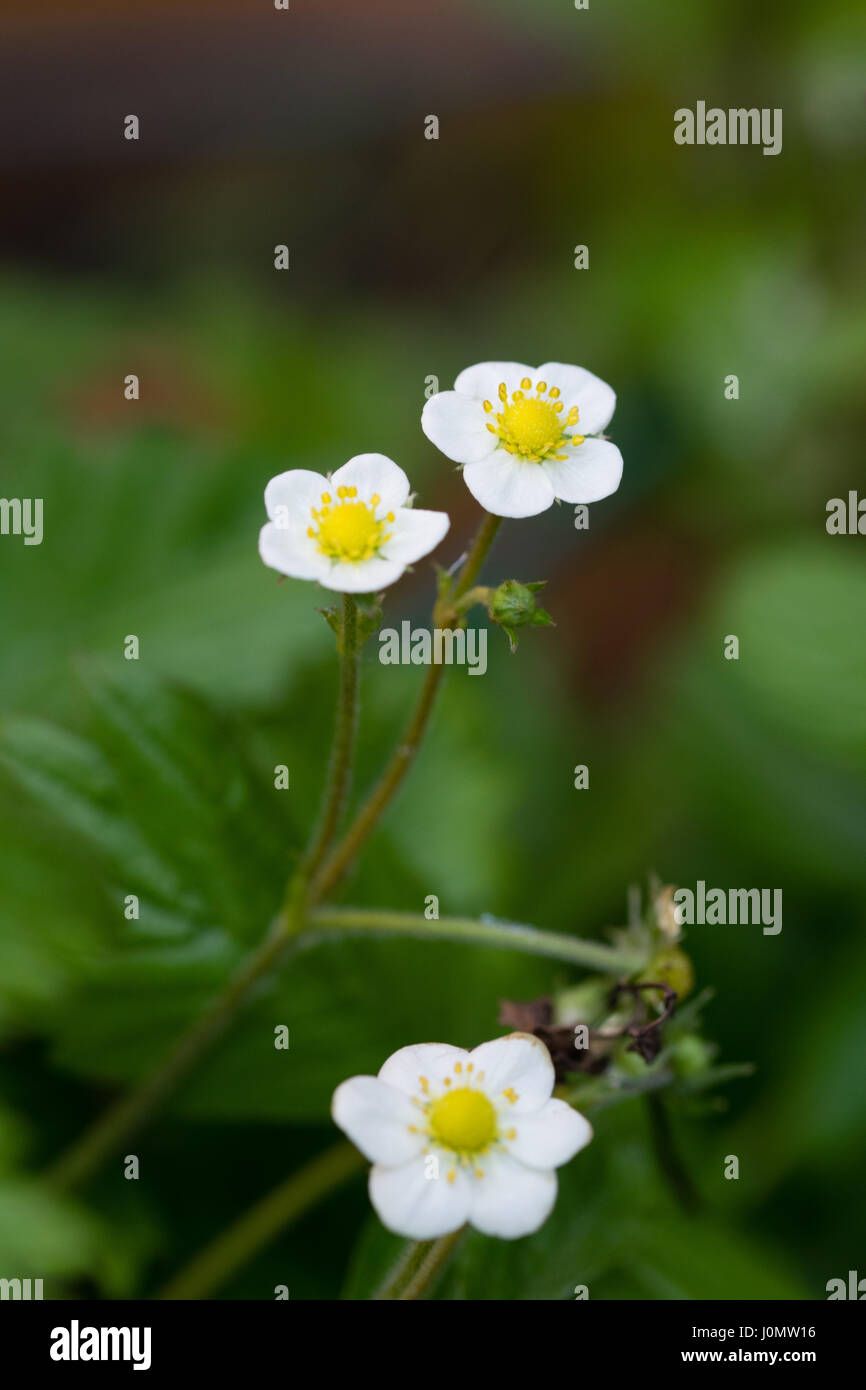 Spring time flowers of strawberries - Stock Image