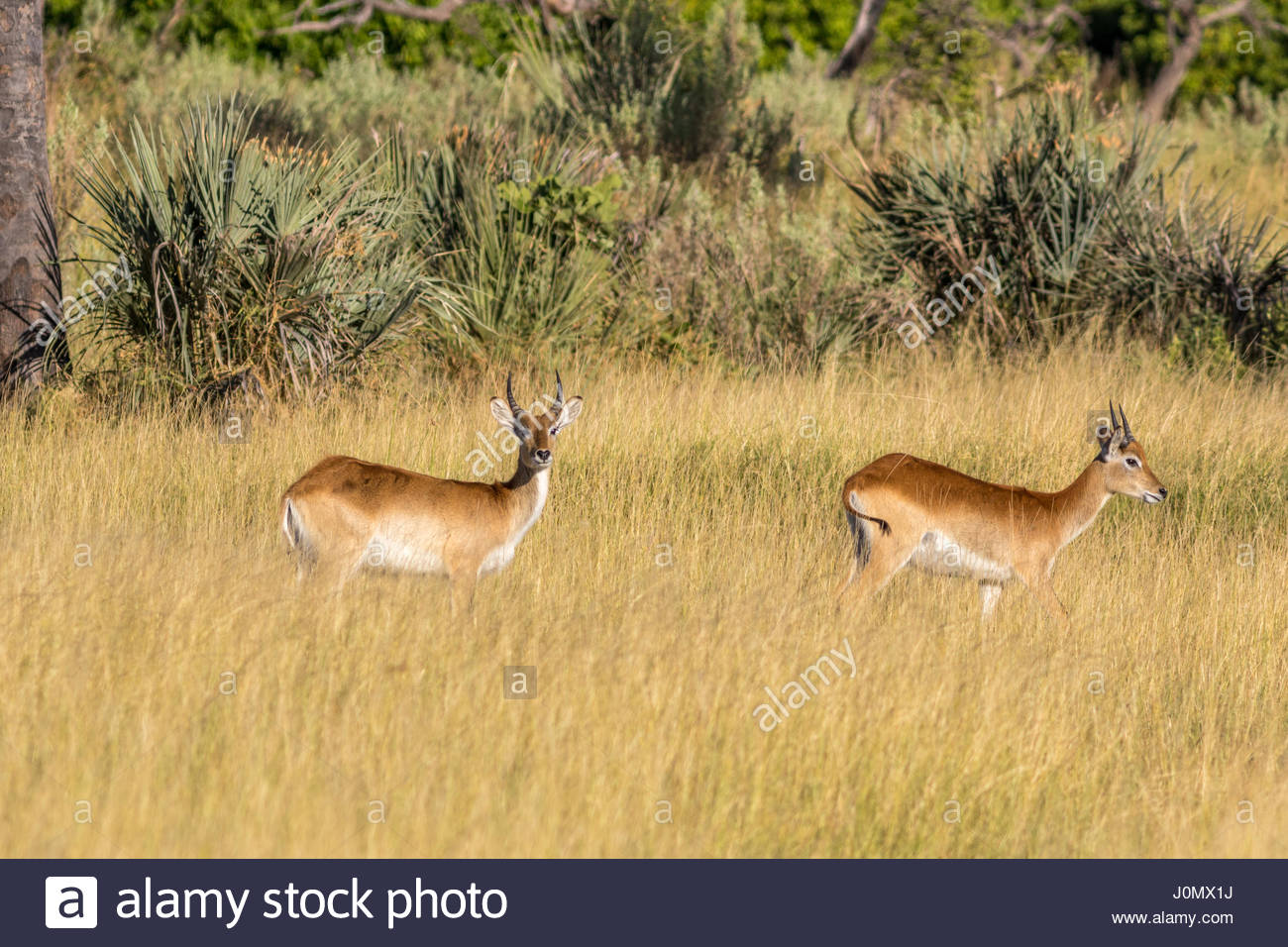 A pair of Red Lechwe in the floodplain of the Okavango Delta, Botswana Stock Photo