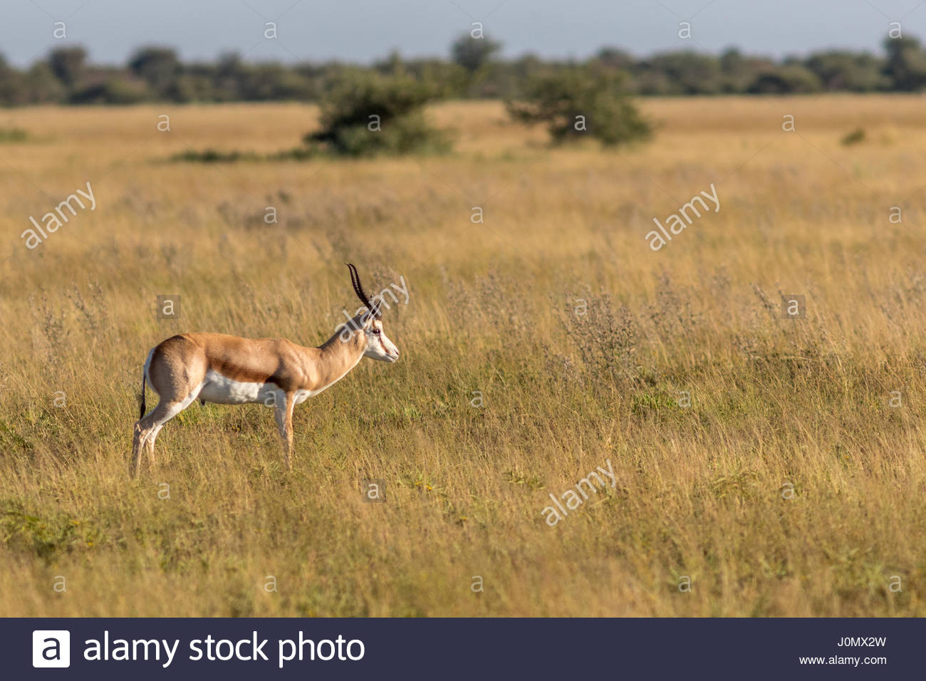 A lone male Springbok grazing in the Nxai Pans National Park, Botswana - Stock Image