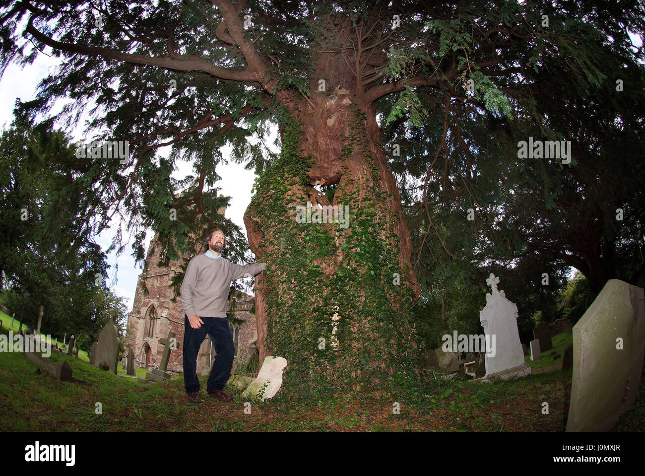 Yew  trees in the churchyard of St.Mary the Virgin churchyard, Portbury, Bristol with yew expert Tim Hills - Stock Image