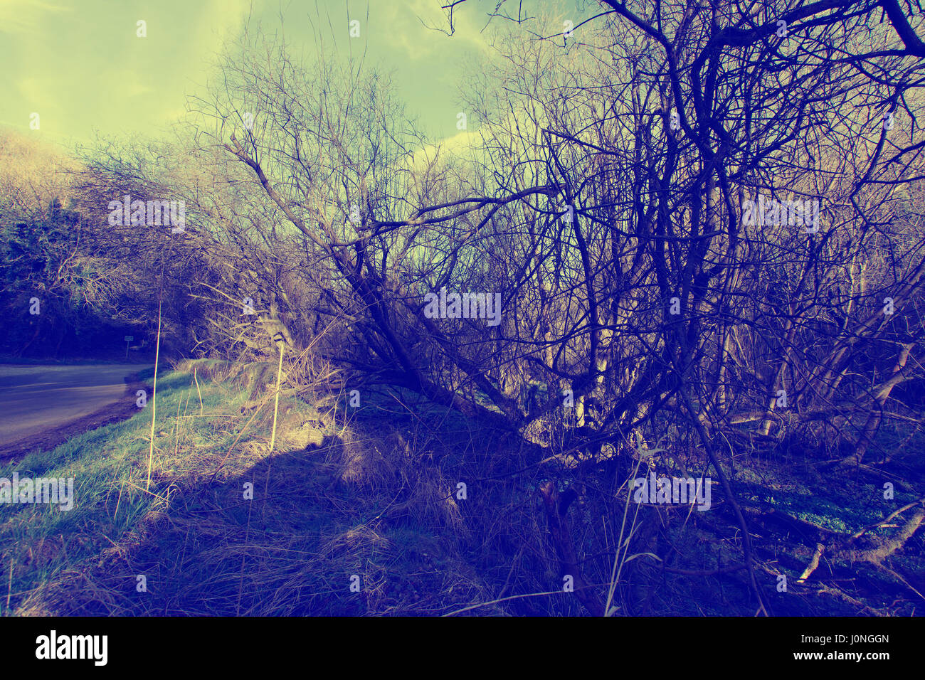 The bush , post apocalyptic vision of nature.Peak District landscape,Derbyshire,United Kingdom. - Stock Image