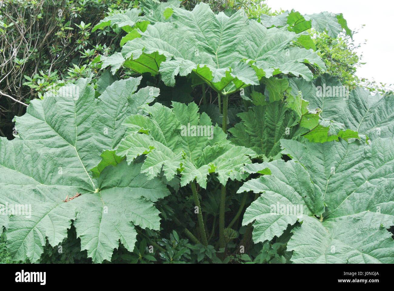 Gunnera is a genus of herbaceous flowering plants - Stock Image