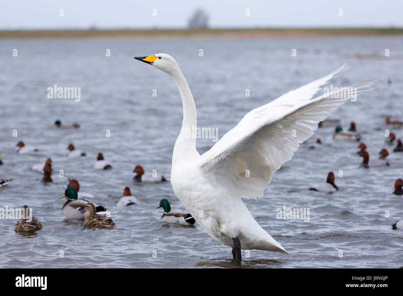 Whooper Swan flapping wings - ruffled feathers - and ducks Mallard, and Common Pochard at Welney Wetland Centre, - Stock Image
