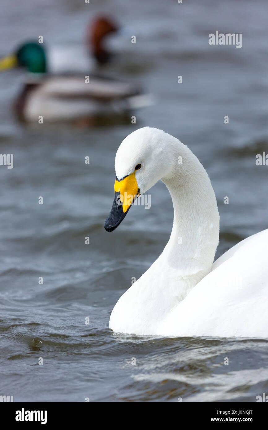 Whooper Swan, Cygnus cygnus, close up at Welney Wetland Centre, Norfolk, UK - Stock Image