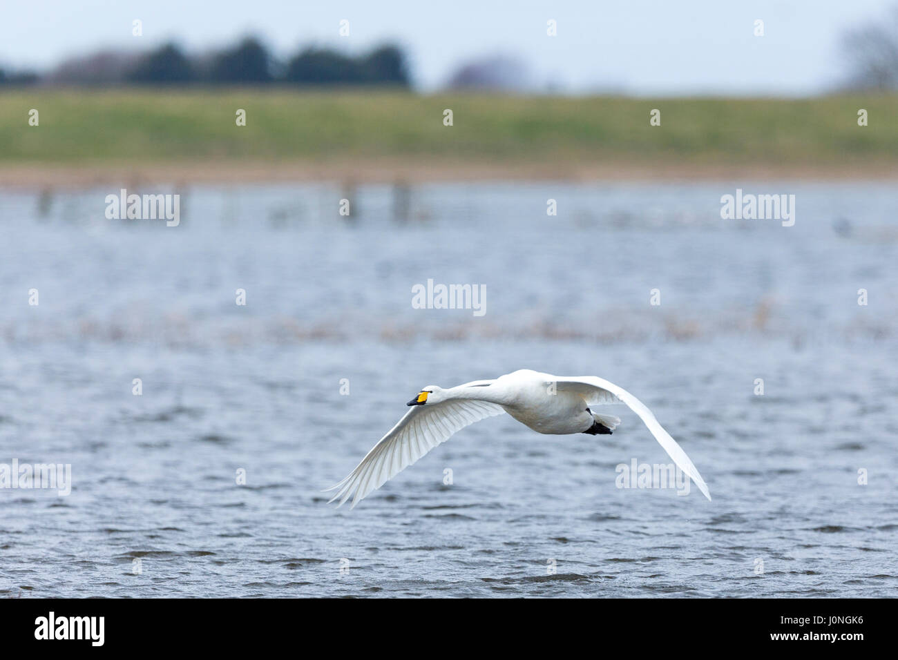 Whooper Swan, Cygnus cygnus,, flapping wings in flight and with wings and feathers spread wide at Welney Wetland Stock Photo