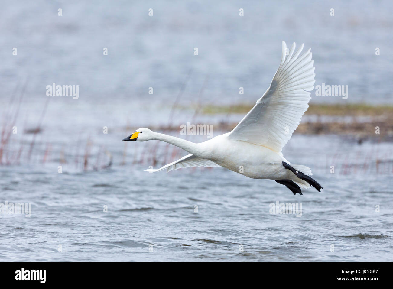 Whooper Swan, Cygnus cygnus, in flight and coming in to land with wings and feathers spread wide at Welney Wetland - Stock Image