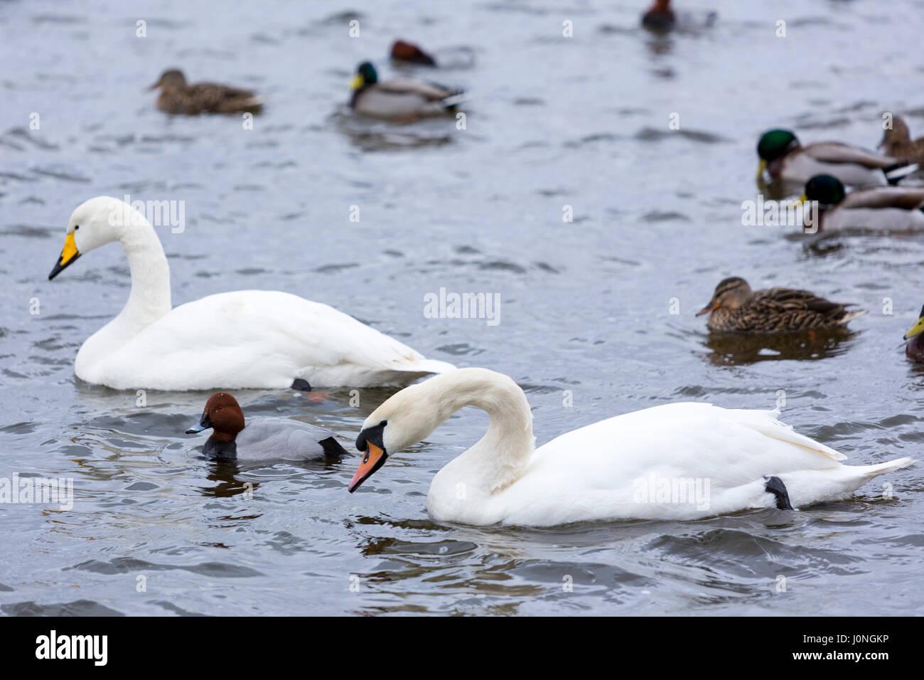 Whooper Swan, Cygnus cygnus and Mute Swan, Cygnus olor, with Pochard and Mallard ducks, at Welney Wetland Centre, - Stock Image