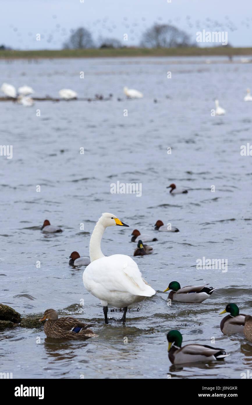 Whooper Swan, Cygnus cygnus, and Pochard and Mallard Ducks, at Welney Wetland Centre, Norfolk, UK - Stock Image