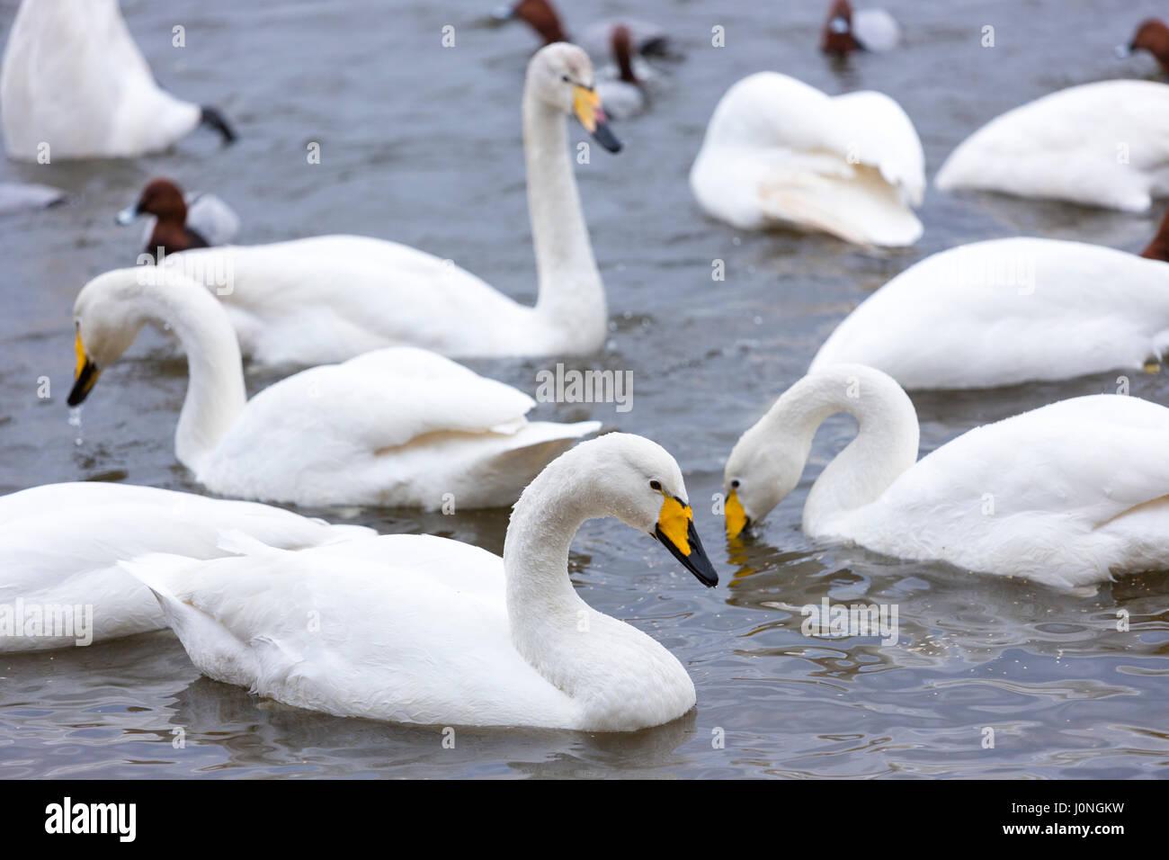 Group of Whooper Swan, Cygnus cygnus, at Welney Wetland Centre, Norfolk, UK Stock Photo