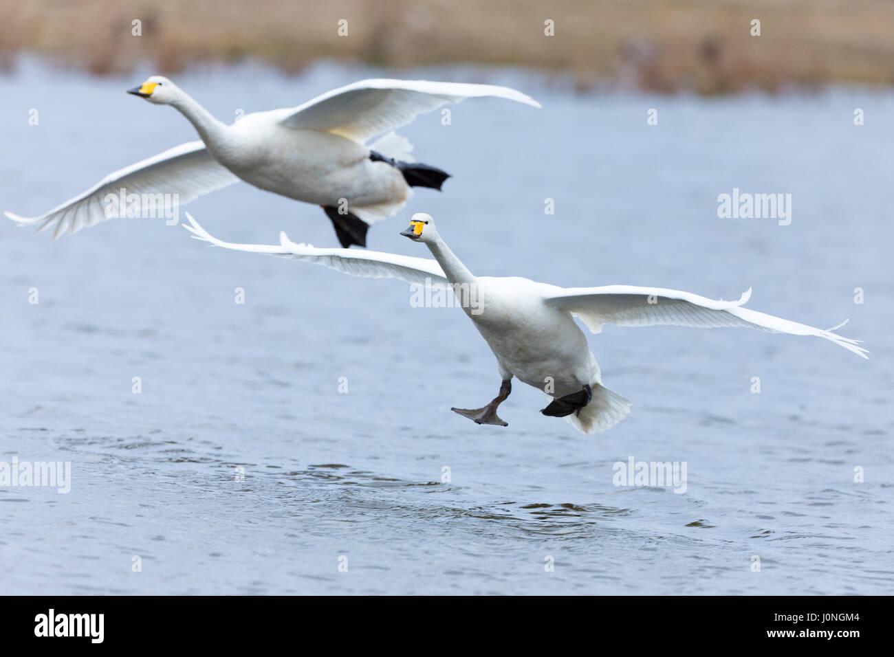 Pair of Whooper Swan, Cygnus cygnus, in flight and landing with wings spread wide at Welney Wetland Centre, Norfolk, - Stock Image