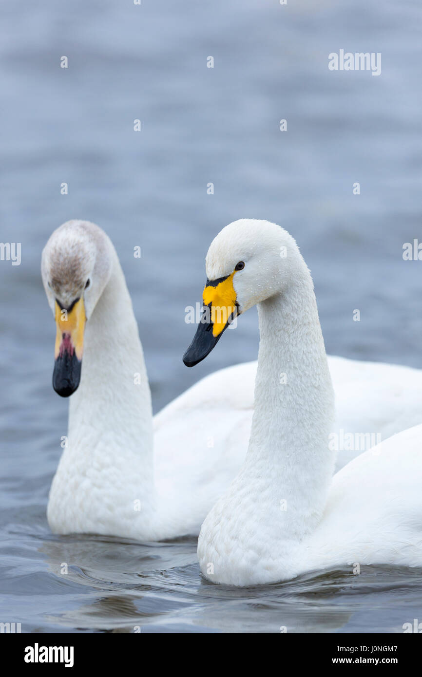 Pair of Whooper Swan, Cygnus cygnus, iat Welney Wetland Centre, Norfolk, UK - Stock Image