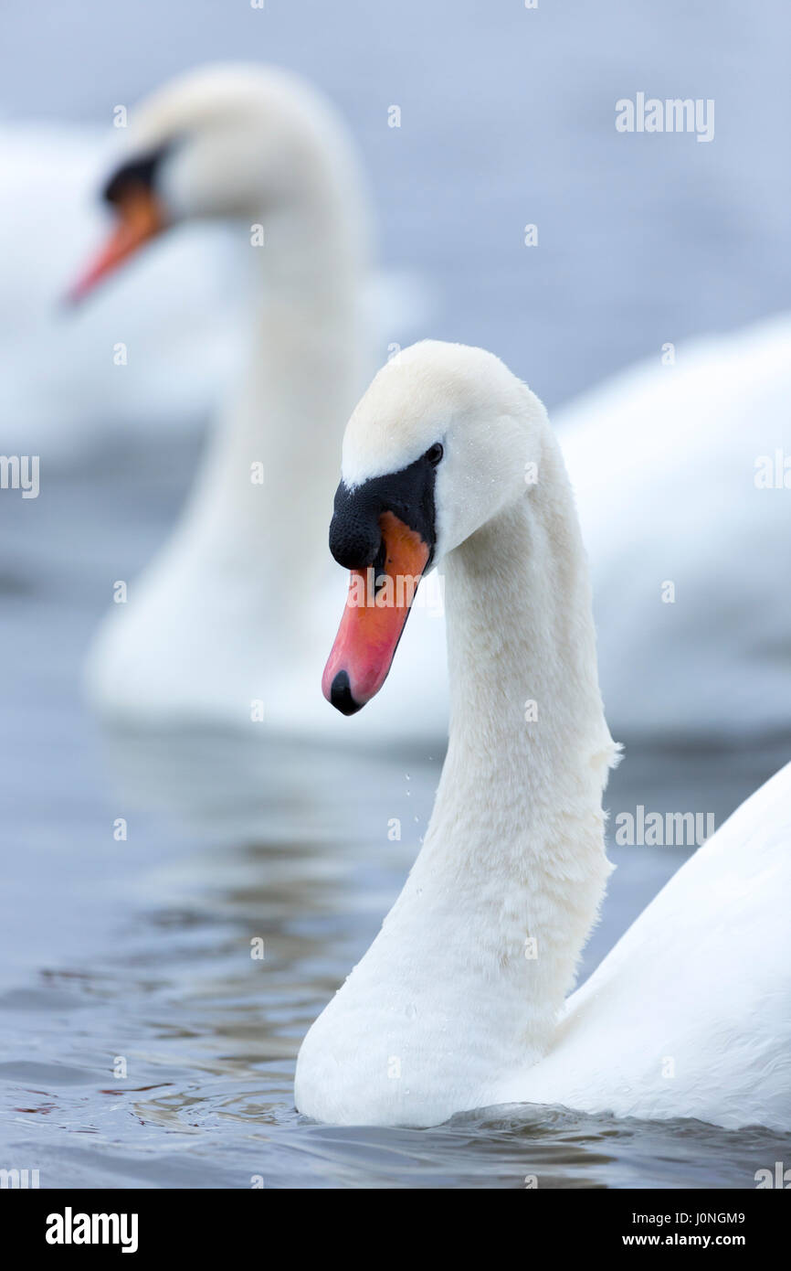 Mute Swan, Cygnus olor, at Welney Wetland Centre, Norfolk, UK - Stock Image