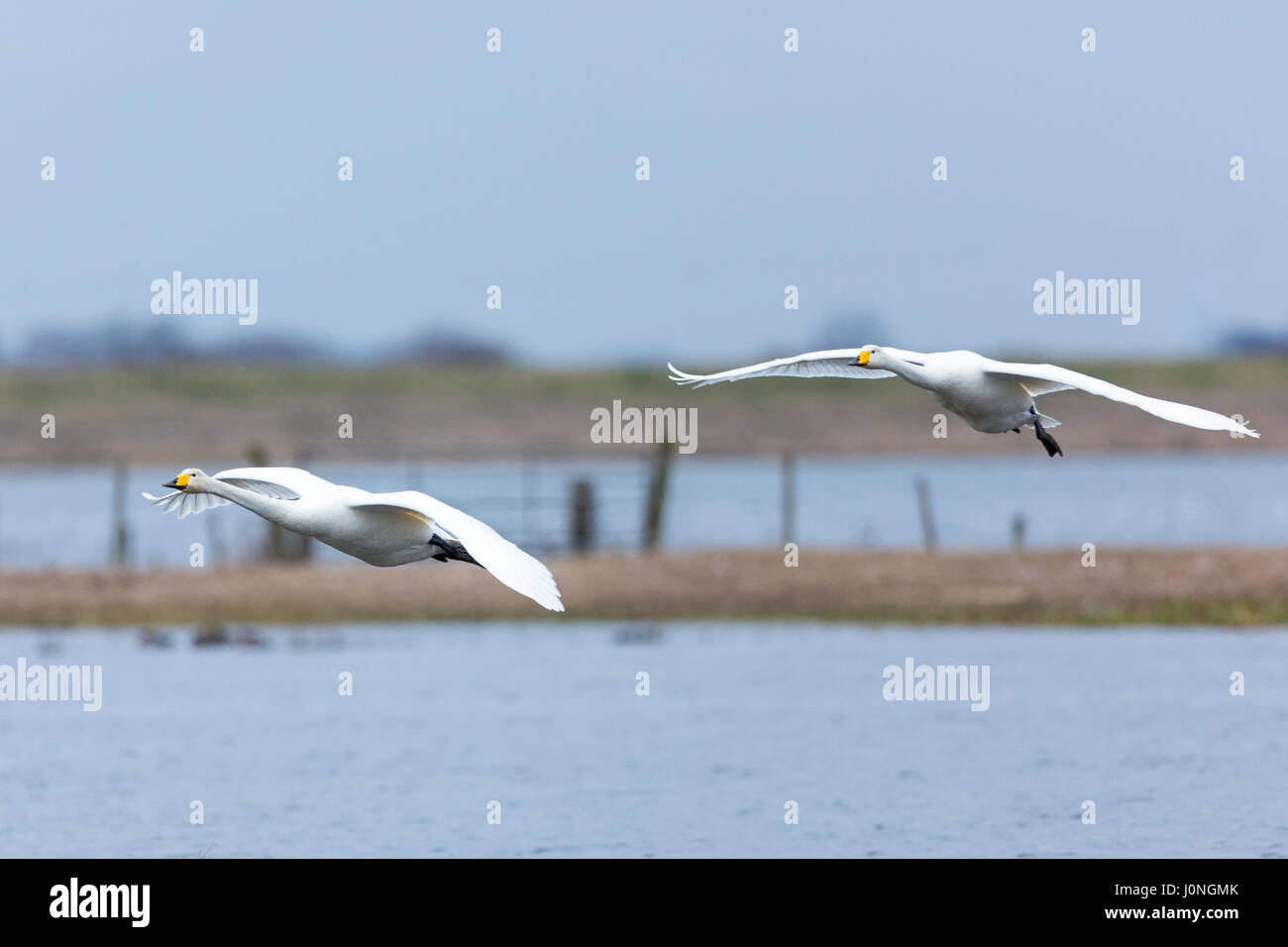 Pair of Whooper Swan, Cygnus cygnus, in flight with wings spread wide about to land at Welney Wetland Centre, Norfolk, - Stock Image