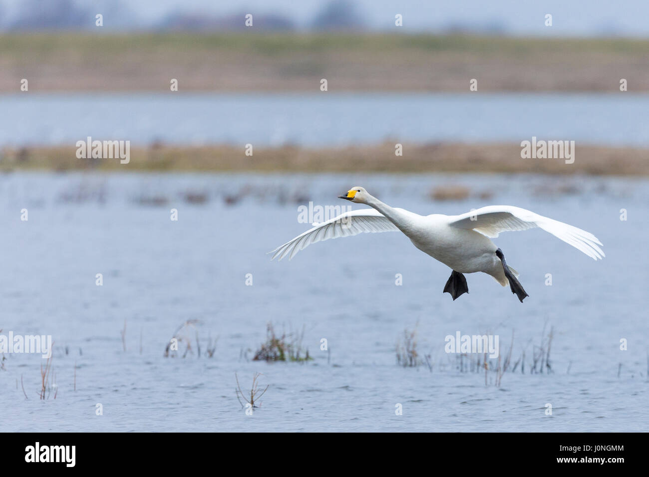 Whooper Swan, Cygnus cygnus, in flight with wings spread wide about to land at Welney Wetland Centre, Norfolk, UK - Stock Image