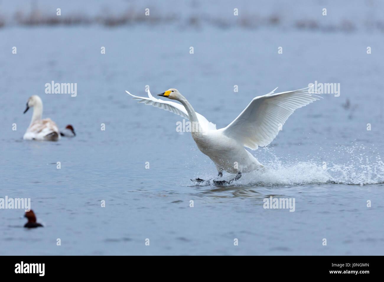 Whooper Swan, Cygnus cygnus, in flight with wings spread wide landing and splashing water at Welney Wetland Centre, - Stock Image