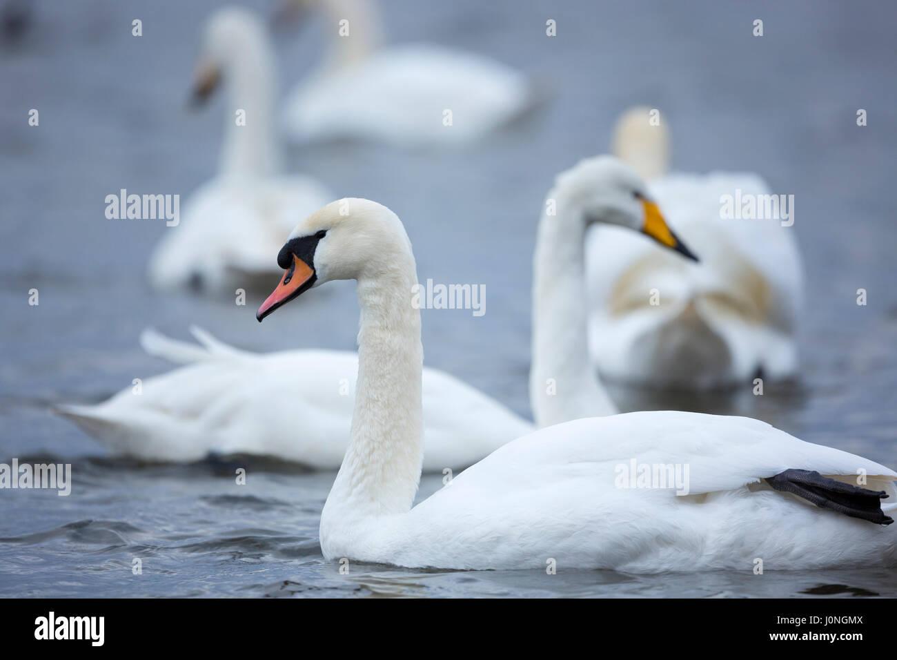 Mute Swan, Cygnus olor, front with Whooper Swan, Cygnus cygnus, behind at Welney Wetland Centre, Norfolk, UK - Stock Image