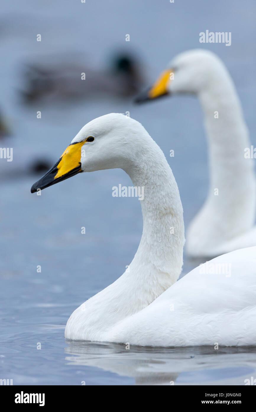 Pair of Whooper Swan, Cygnus cygnus, at Welney Wetland Centre, Norfolk, UK - Stock Image