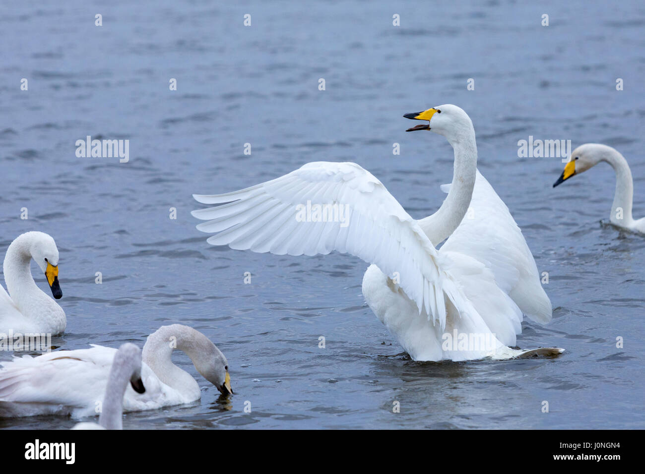 Group of Whooper Swans, Cygnus cygnus, one flapping wings at Welney Wetland Centre, Norfolk, UK - Stock Image