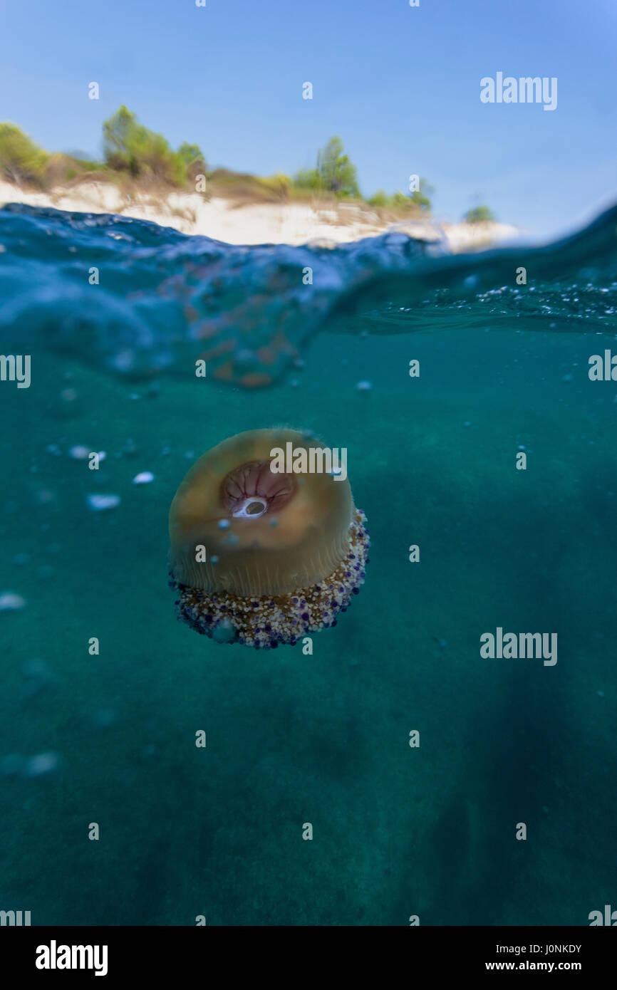 Mediterranean jelly on Kamenjak - Stock Image