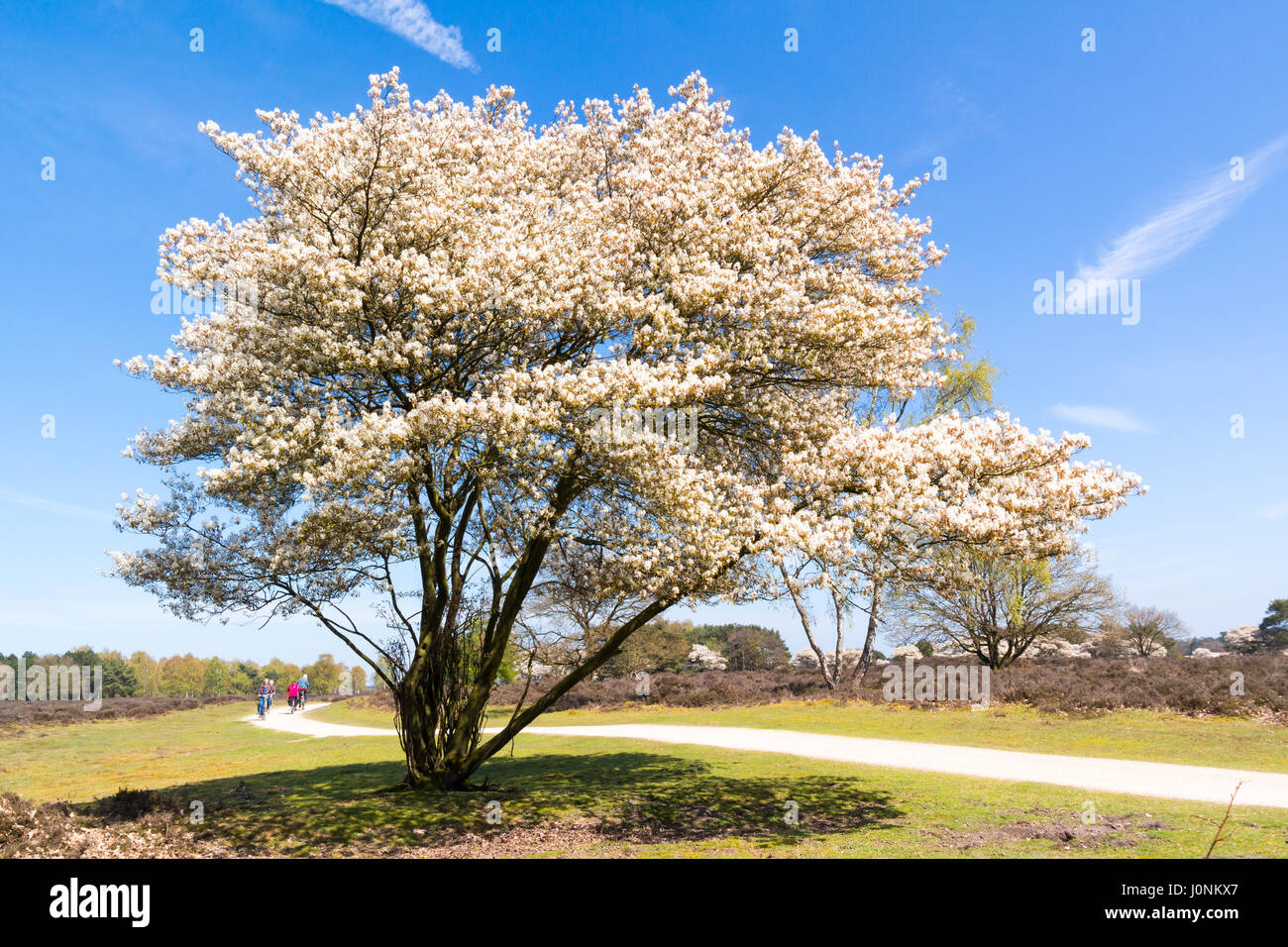 Heathland with blooming Amelanchier lamarkii tree and bicyclists on cycle path, Hilversum, Netherlands - Stock Image