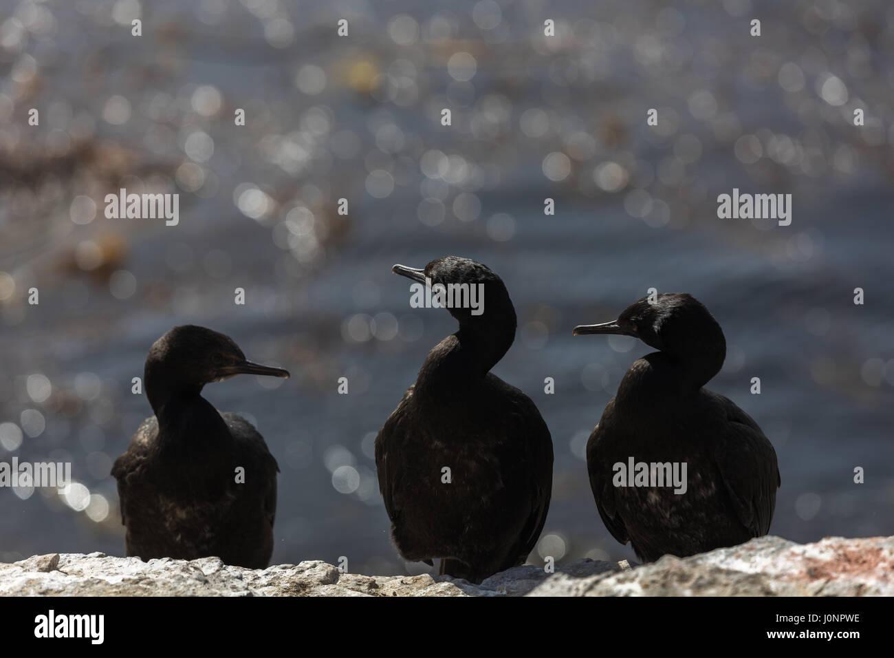 Rock cormorants on Bleaker Island - Stock Image