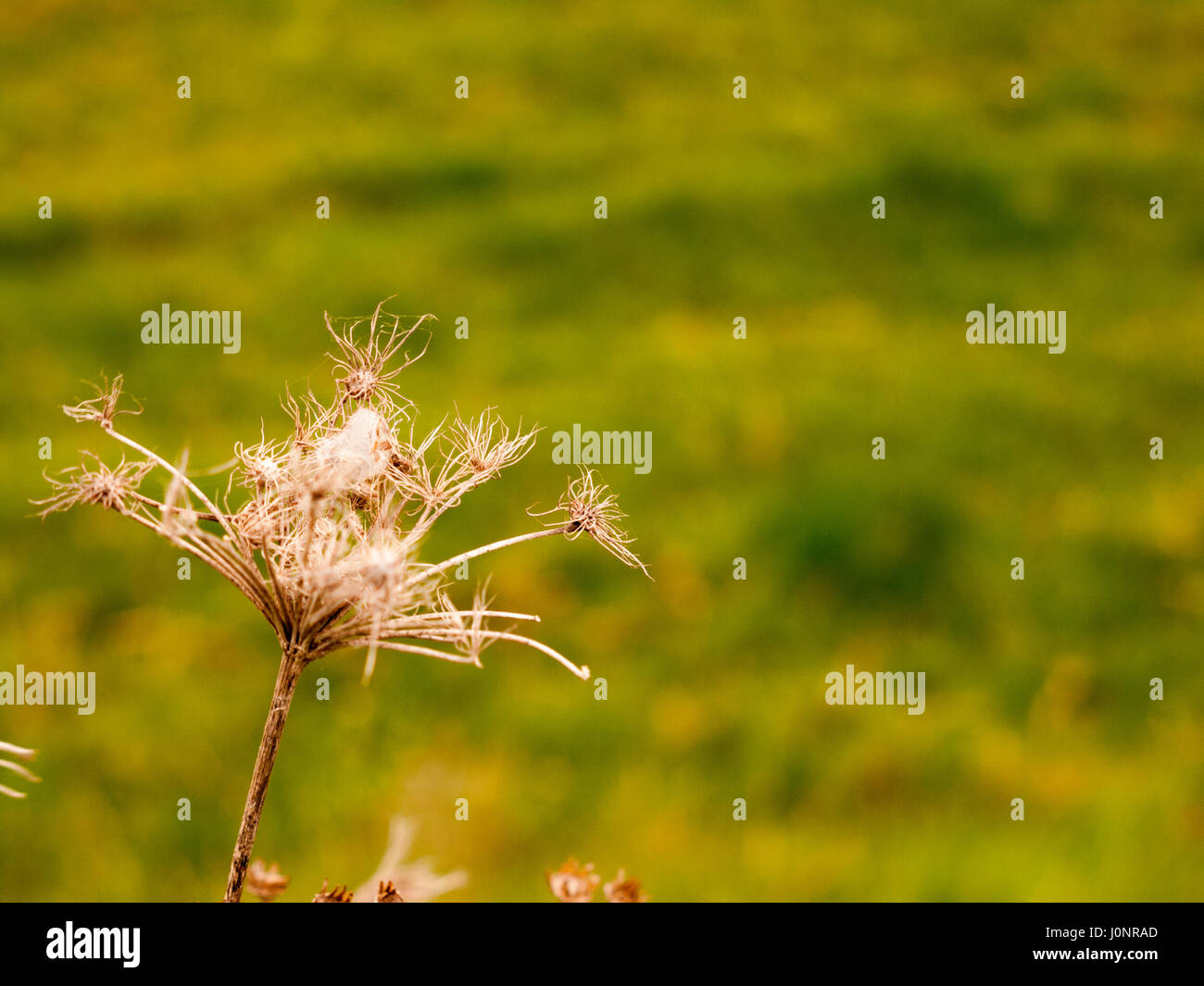 Spindly Dead Plant With Green Blurred Background Up Close Macro, Wisp and breezy blowing in the wind brown dead - Stock Image