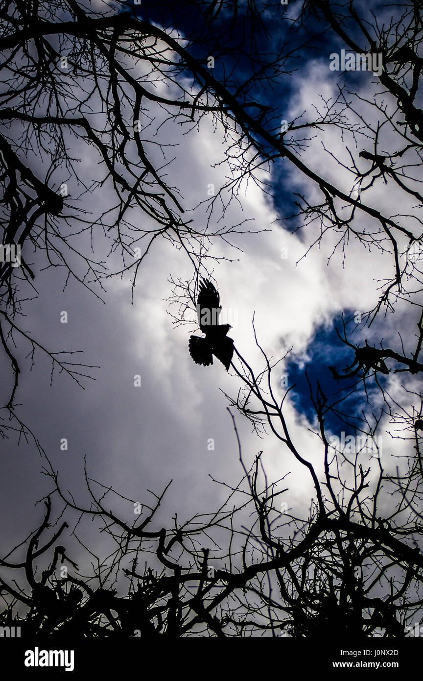 Black raven. - Stock Image