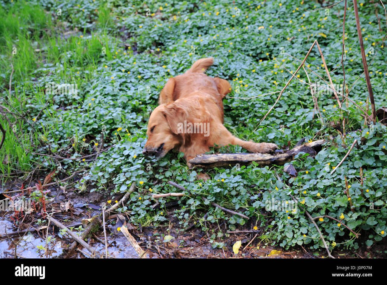 Hund Golden Redriever tod, tot, vergiftet auf einer Wiese - Stock Image