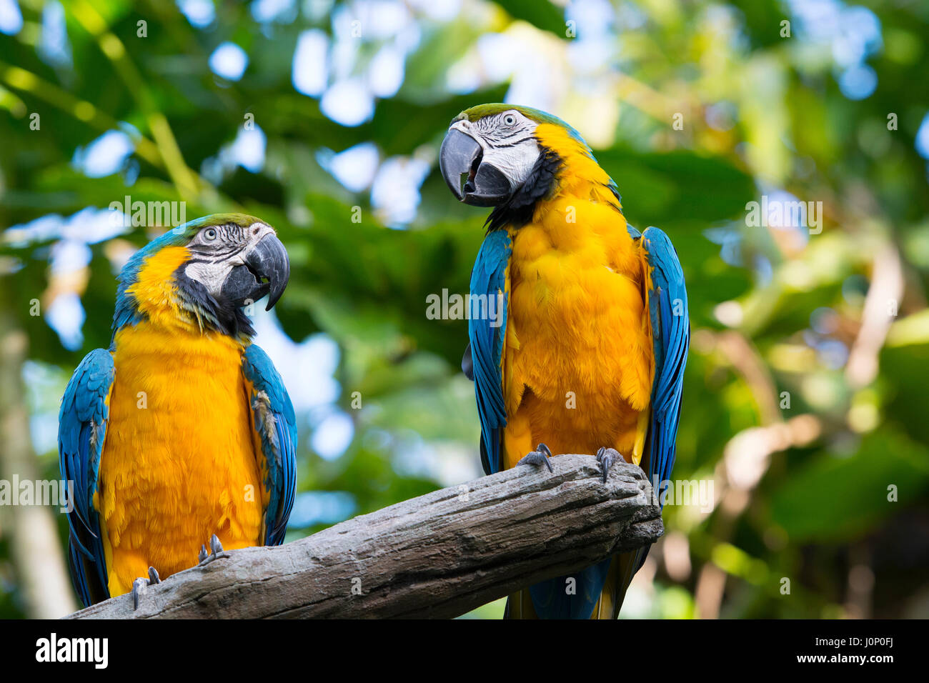 Macaw Parrots, Blue and Yellow Gold Ara Ararauna, Birds - Stock Image