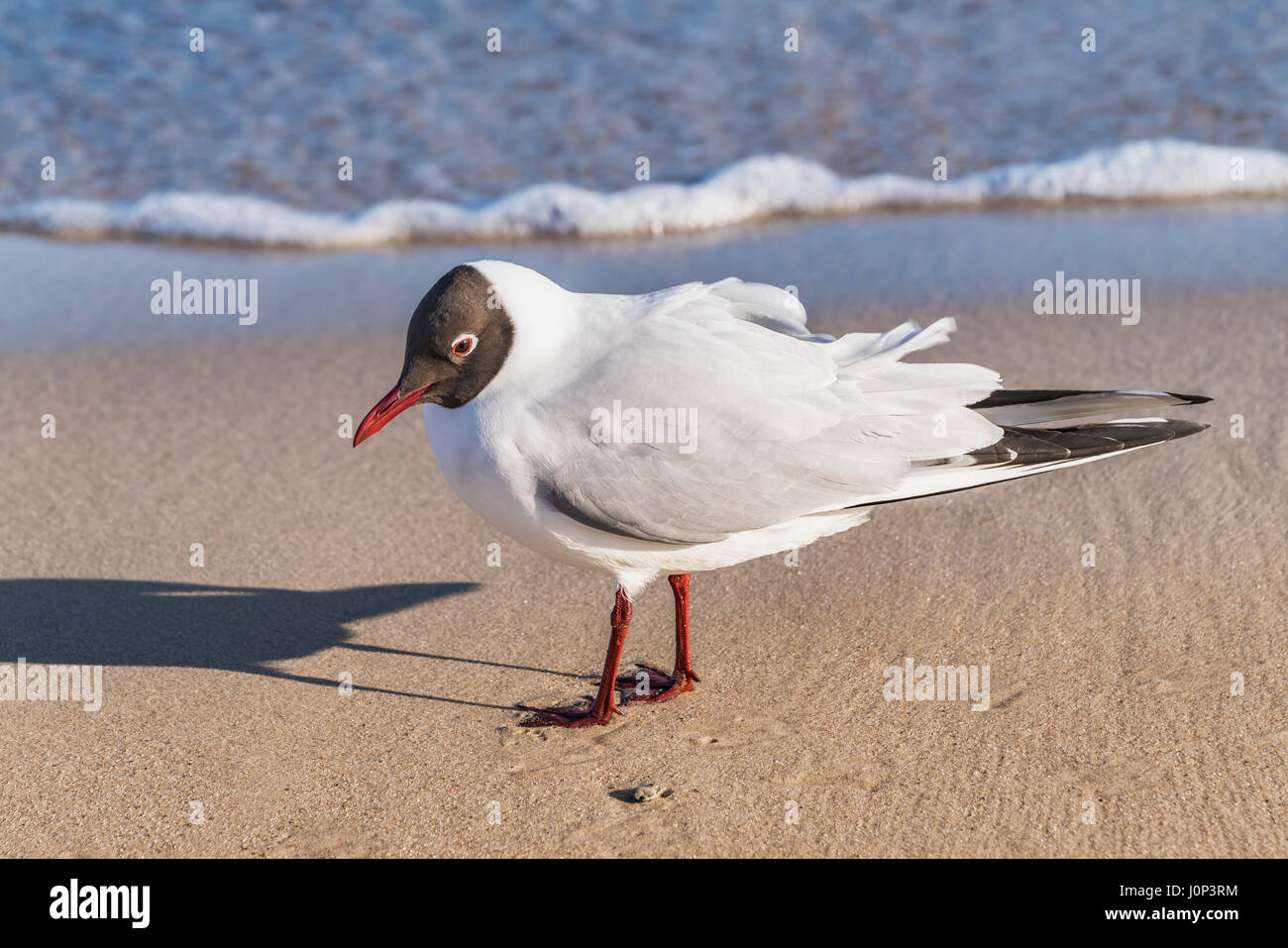 Detail view of a Black-headed gull on the beach of the Baltic Sea in Kolobrzeg, West Pomeranian, Poland, Europe - Stock Image