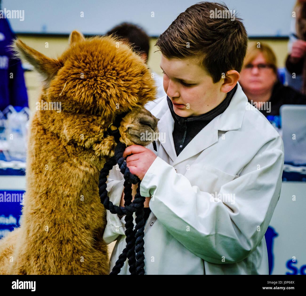 Lanark Scotland 15th April 2017:  The Second Scottish Alpaca Championship, organised by the Scottish Alpaca Group, - Stock Image