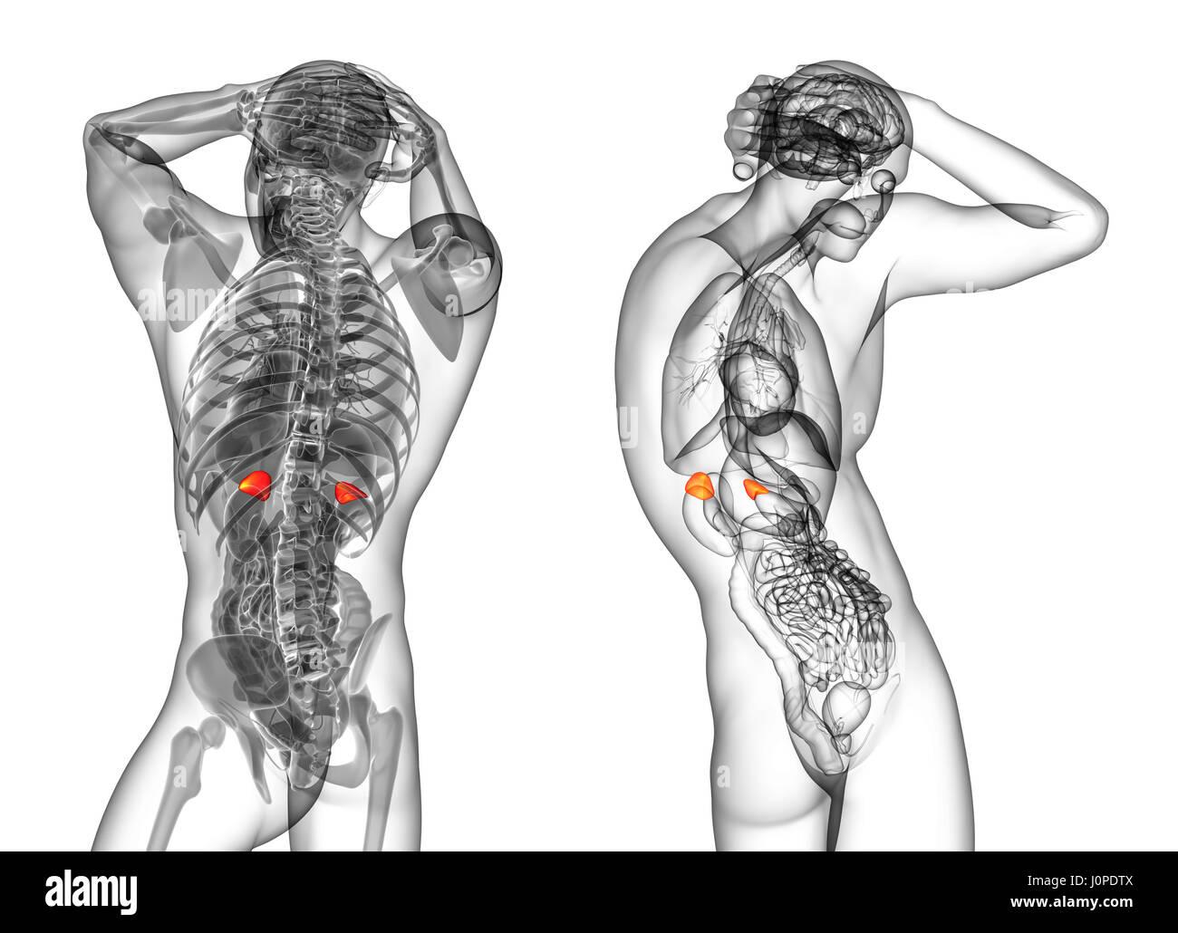 3d Rendering Medical Illustration Of The Human Adrenal Glands Stock