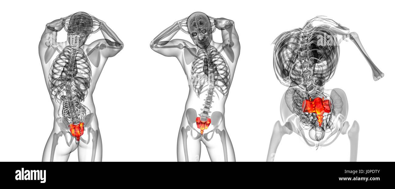 Großzügig Das Sacrum Ideen - Menschliche Anatomie Bilder ...