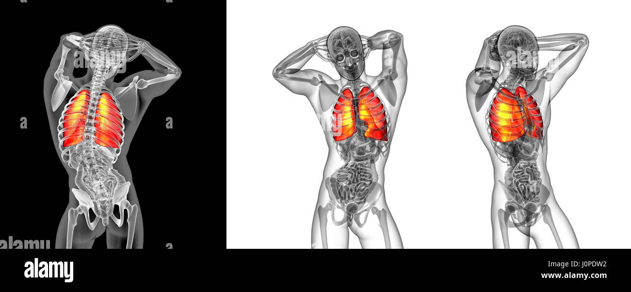 3d rendering illustration of the human lung - Stock Image