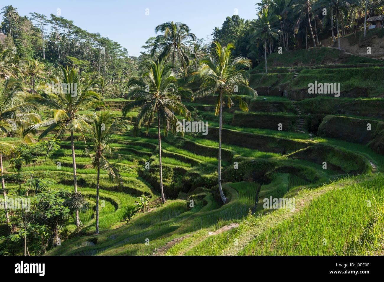 Terraced Rice Field, Bali, Indonesia - Stock Image