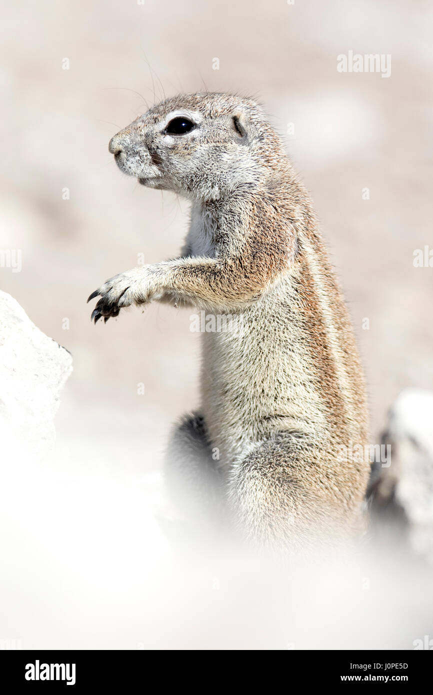 Ground squirrel in Etosha National Park, Namibia - Stock Image