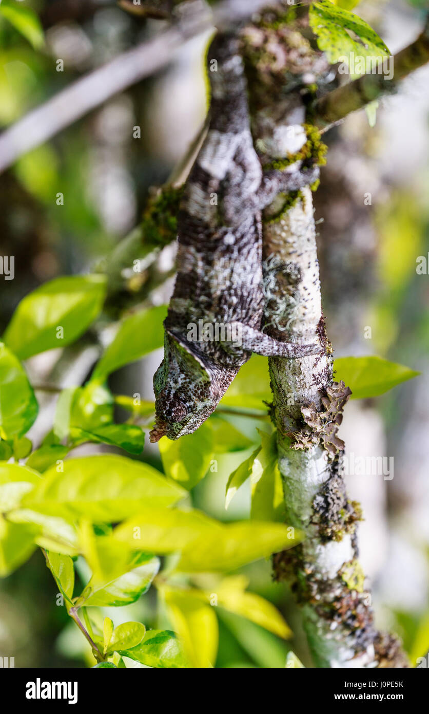 Grey Chameleon hiding heads down on a grey branch - Stock Image
