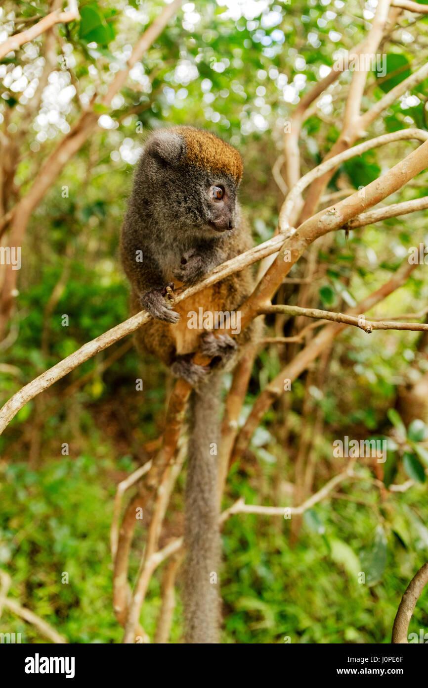 The eastern lesser bamboo lemur (Hapalemur griseus), Aka the gray bamboo lemur and the gray gentle lemur. - Stock Image