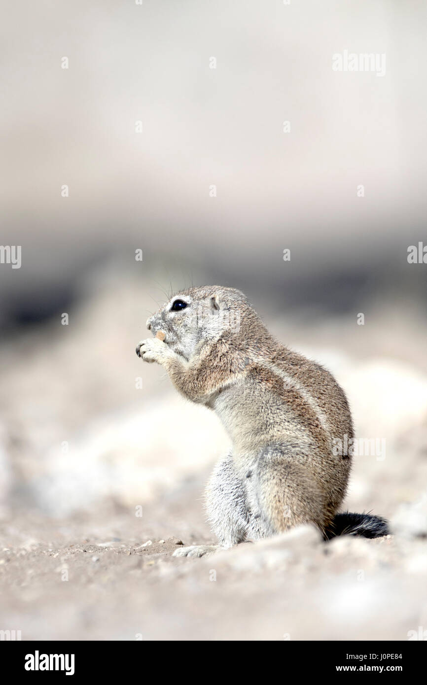 Ground squirrel in Etosha National Park, Namibia - Stock Image