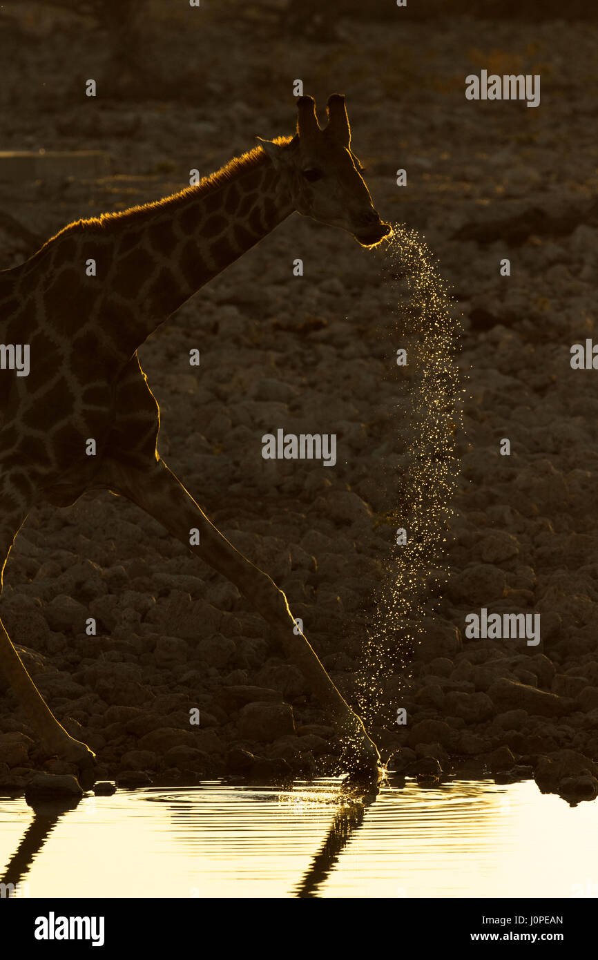 Giraffe drinking at a waterhole - Stock Image