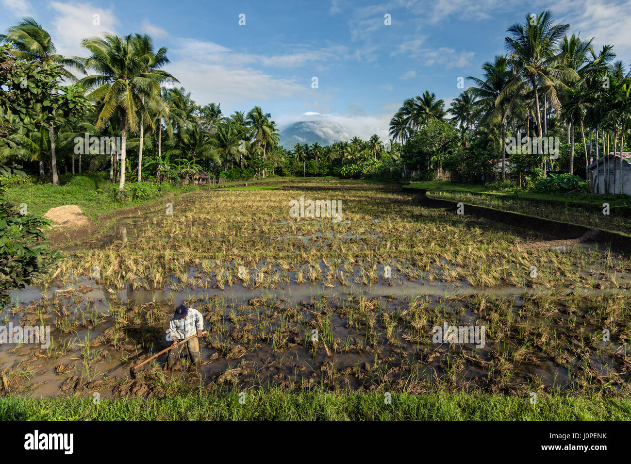 Farmer tending a large rice field in the shadow of a active volcano Mount Mayon, Philippines. - Stock Image