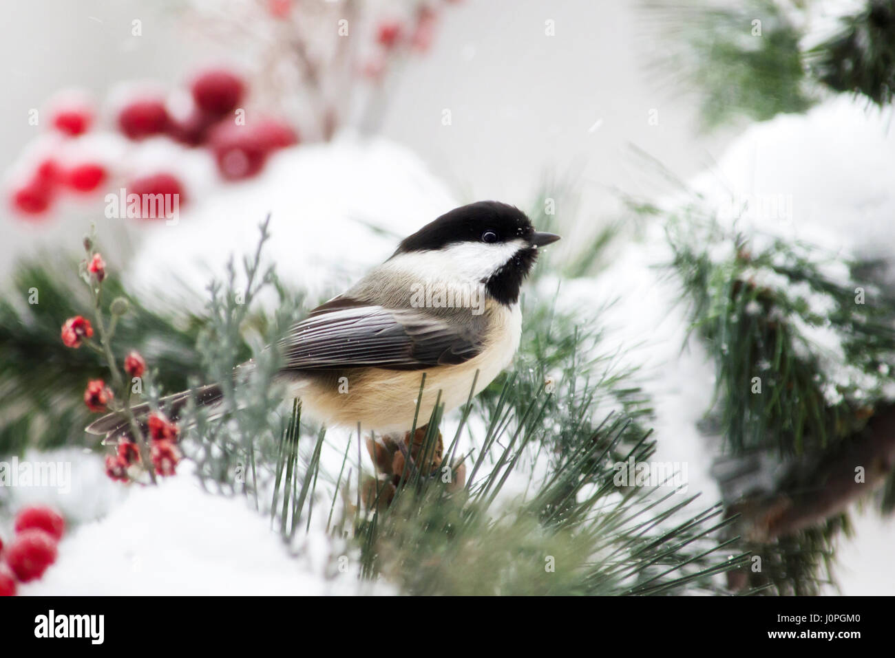 Black capped chickadee bird close up in winter snow. - Stock Image