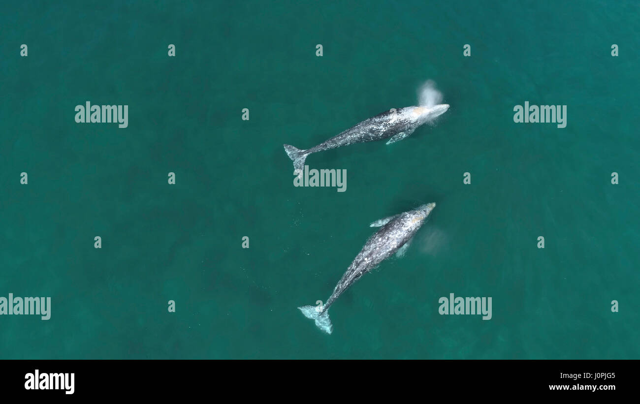 Aerial view of gray whales during Spring migration Stock Photo