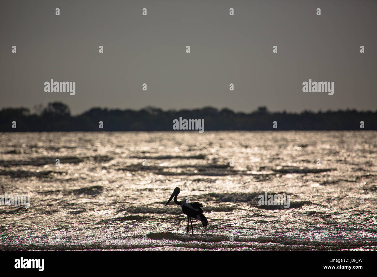 A black-necked stork walks in the shallows of the sea searching for prey. Stock Photo