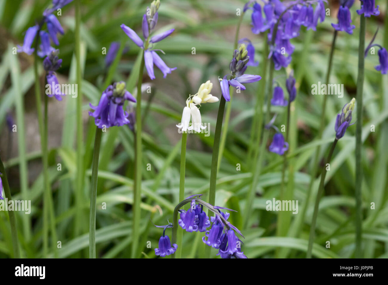 White bluebell flower surrounded by blue bluebell flowers stock white bluebell flower surrounded by blue bluebell flowers mightylinksfo