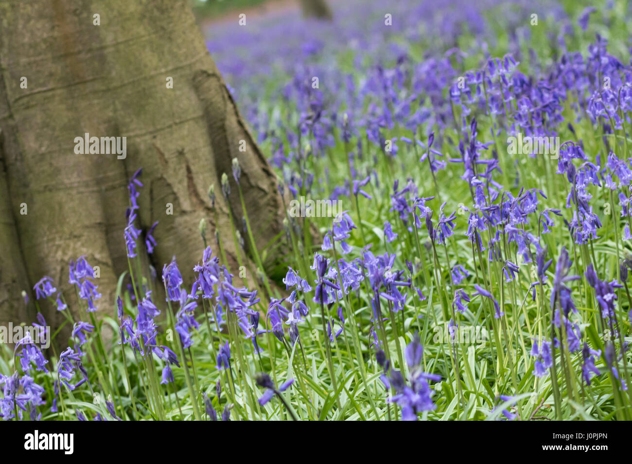 Bluebell Wood, Wiltshire Stock Photo