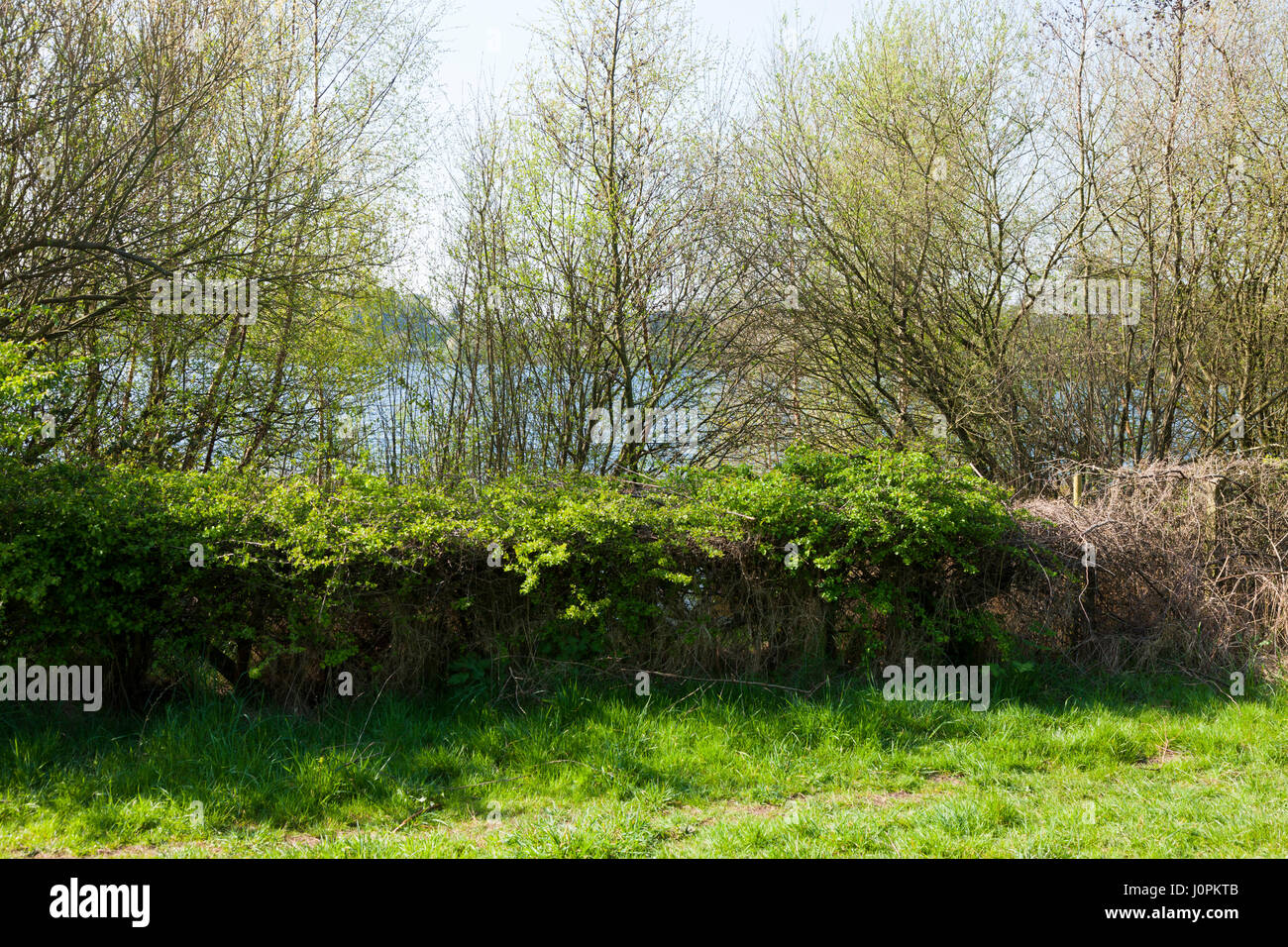 Restricted view of Astbury Mere through the hedge row / hedgerows and trees of the Astbury Mere Country Park, Astbury, - Stock Image