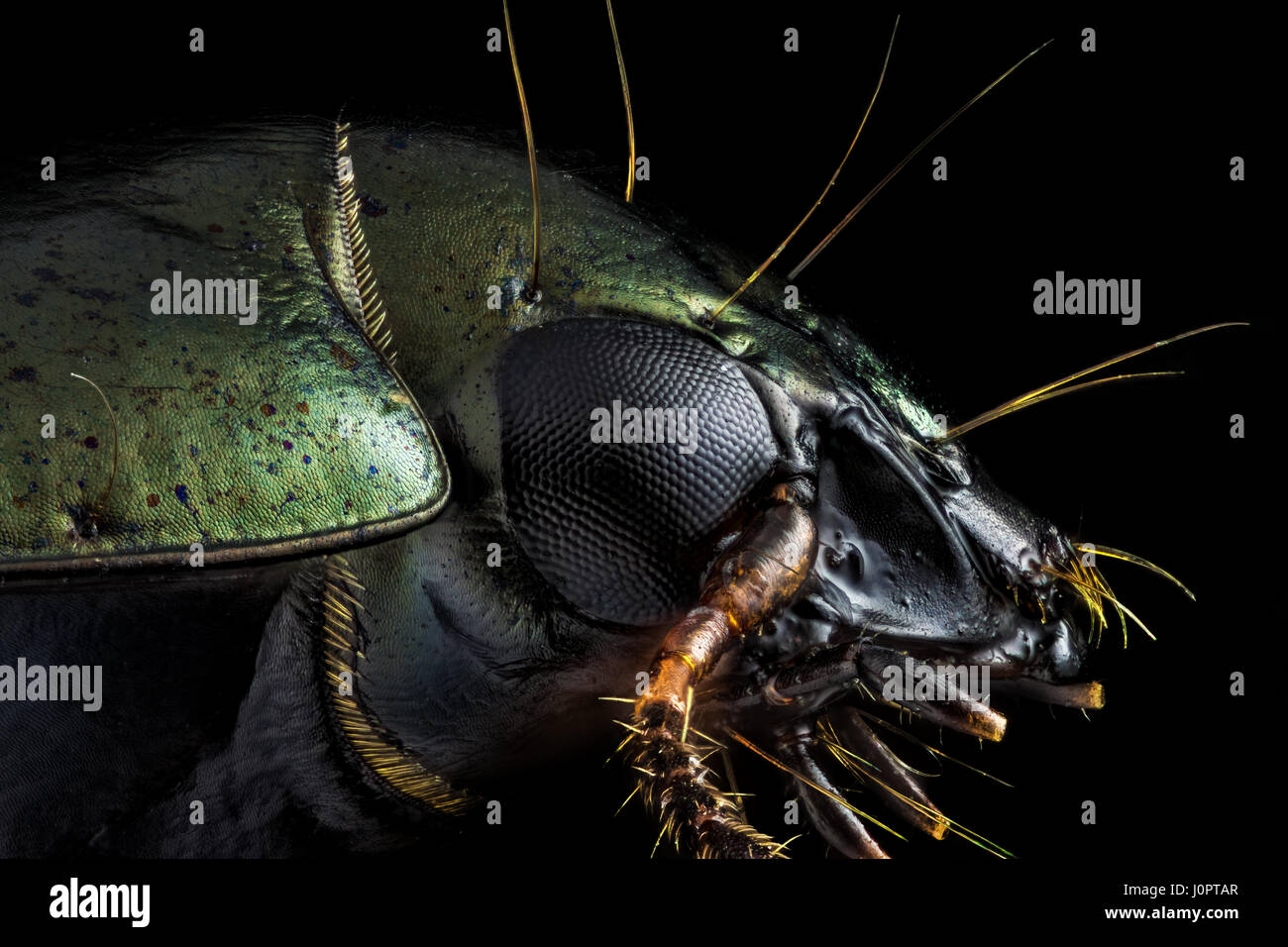 Extreme macro - Profile portrait of a green beetle photographed through a microscope at x10 magnification. - Stock Image