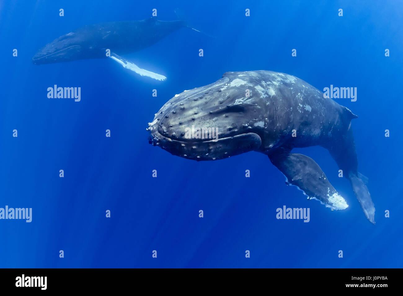 Humpback Whale, Courtship Behavior, Megaptera novaeangliae, Hawaii, USA Stock Photo