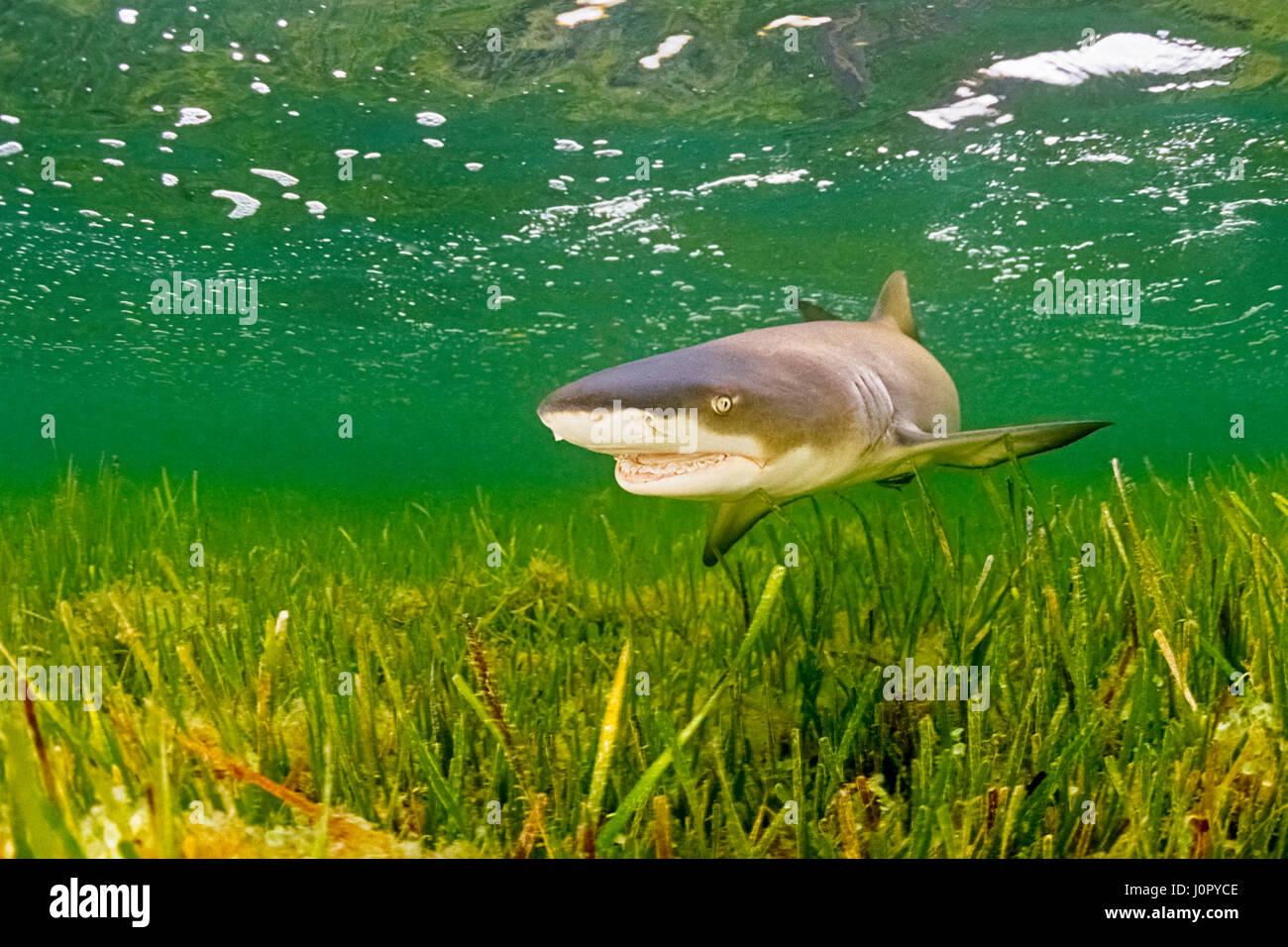 Lemon Shark, Negaprion brevirostris, Florida, USA - Stock Image